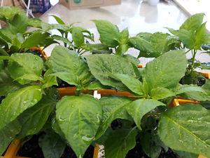 Bhut Jolokia Ghost Chilli Plant