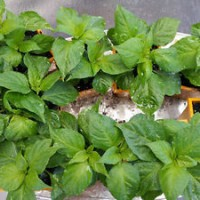 Bhut Jolokia Ghost Chilli Plant1