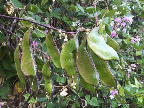 Rare Hyacinth Bean Purple Green Indian Bean 8 Seeds