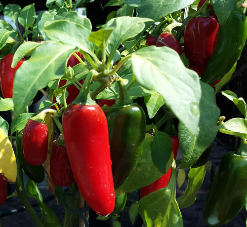 Mexican Red Jalapeno Bulk 100 Seeds The Most Widely