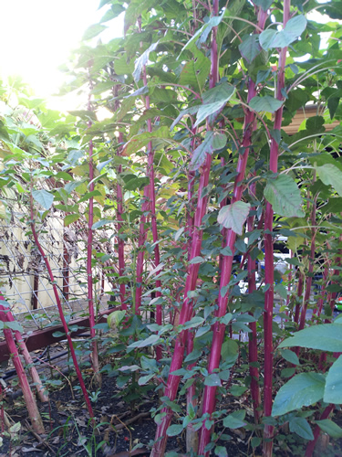 Red Blood Rajgira 100 Seeds Phak khom Amaranth Chu Hinn choy Lal Shak