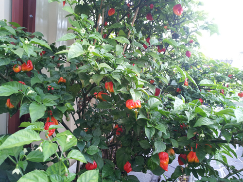 Black Scorpion Tongue Chilli 5 Seeds One Of The Rarest