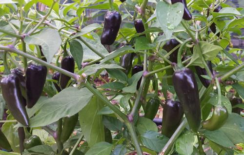Chenzo Black Chilli A Hot Amp Attractive Compact Chilli