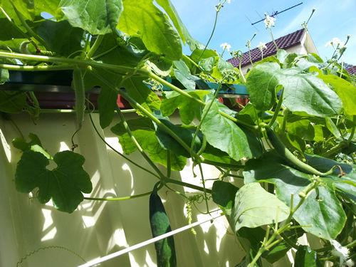Snake Gourd Chinese Cucumber Potlakaaya Pudalankaai