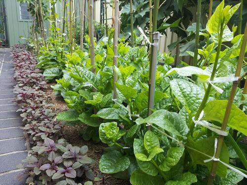 Malabar Spinach – PuiShak, Bachhali, Bertalha, Alugbati ...