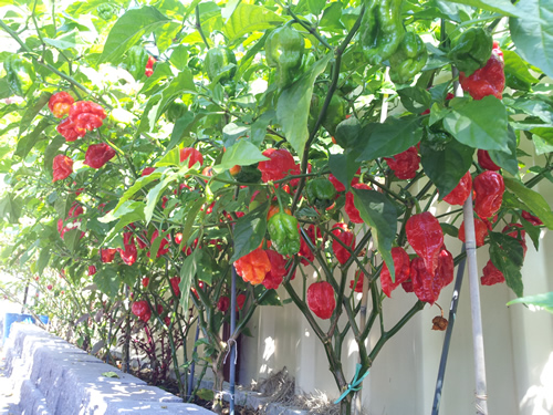 Trinidad Scorpion Butch T: 50+ Seeds – one of the hottest ...