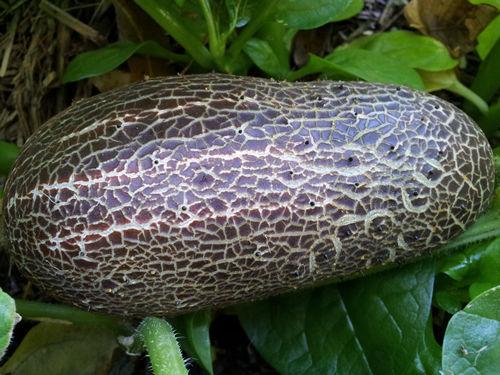 sikkimensis 'Sikkim' Rusty Cucumber Very Rare Variety Cucumis sativus var