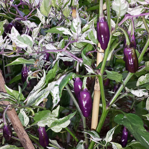 Very Hot Purple Tiger Chilli – A Stunning Chilli with ...